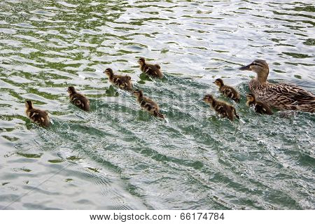 Duck And Ducklings On The Run