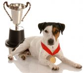 champion dog - jack russel terrier wearing gold medal sitting with trophy poster