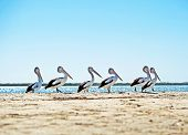 Six Australian pelican stand in a line on a sunny day at the beach. poster