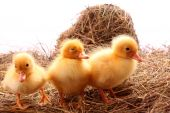 small yellow fluffy ducklings on the hay poster