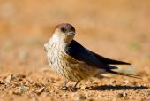 Greater Striped Swallow sitting in the morning sun to warm itself poster