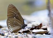 Beautiful Double-banded blue crow Butterfly in nature environment with sharp details poster
