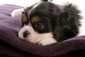 six week old tri color cavalier king charles spaniel puppy poster