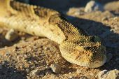 An adult Puff Adder Snake, as photographed in the wilds and wilderness of Africa.  A deadly and poisonous snake. poster