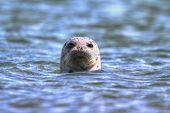Harbor Seal (Phoca vitulina) swimming in the Pacific Ocean poster