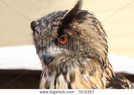 bird of prey-owl