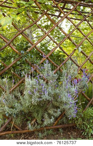 Lavender growing thought a trellis