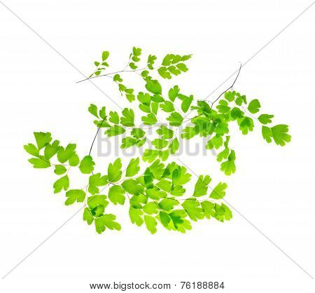 Several Young Green Fern Branches Is Isolated On White Background, Closeup
