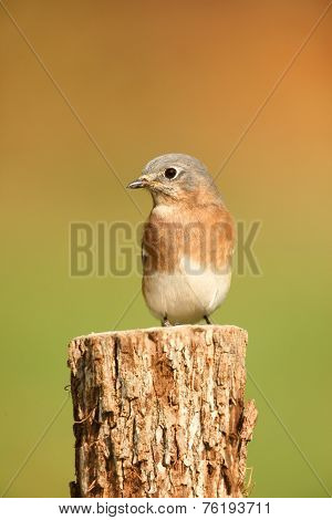 Eastern Bluebird With Negative Space