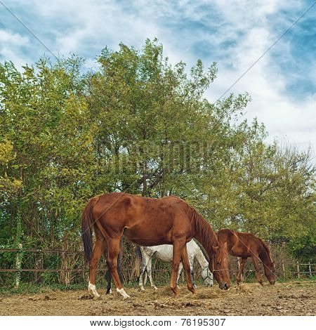 Horses grazing in the paddock of a farm ranch on a cloudy afternoon. poster