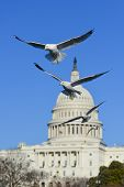 Seagulls with US Capitol background - Washington DC, USA poster