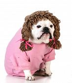 funny dog wearing wig female clothes on white background poster