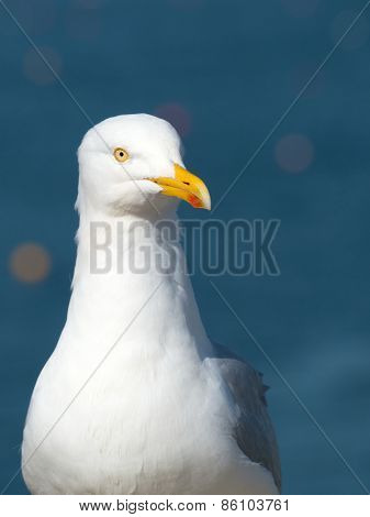 Seagull bird looking for food, blue sea background.