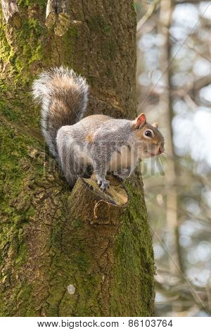 British grey squirrel, Sciurus Carolinensis, about to leap from a tree.