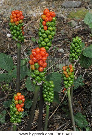 Cuckoo Pint berries
