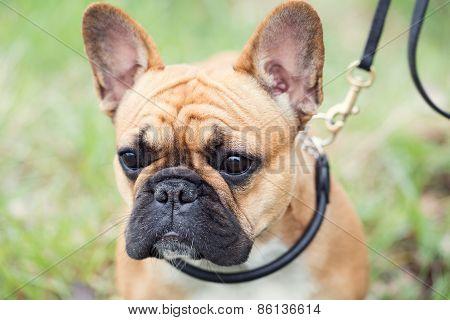 Bull Dog Puppy