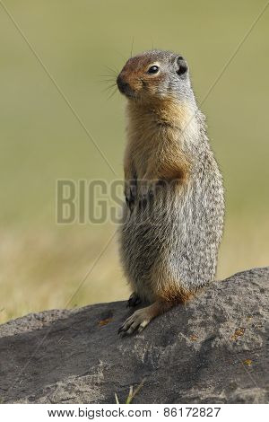 Columbian Ground Squirrel Scouting Its Territory - Alberta, Canada