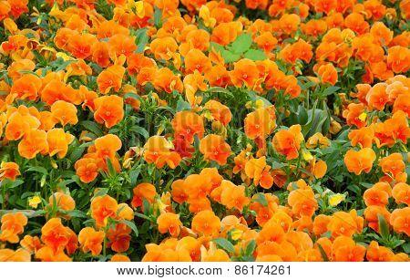Field Of Orange Spring Flowers - Pansies