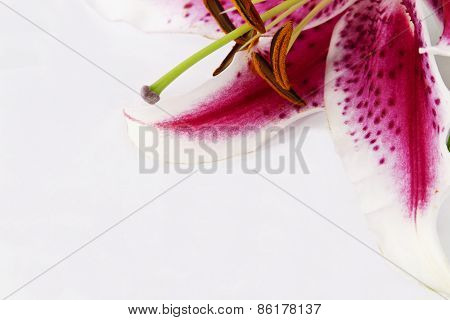 Just Lily Flower In Corner With White Copy Space Background