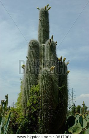 Perfectly Shaped Straight Cactus Closed-up
