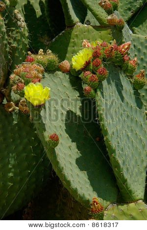 Two Cactus Leaves With Flowers And Buds