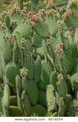 Cactus With Oval Shaped Leaves In Flowers