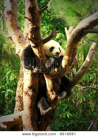 Panda bear perched between branches of a tree poster