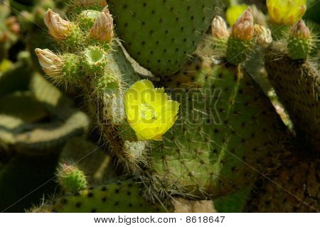 Macro View Of Cactus Flower
