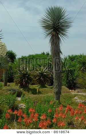One Tall Cactus In The Foreground. Different Cactus Plants On The Glade.