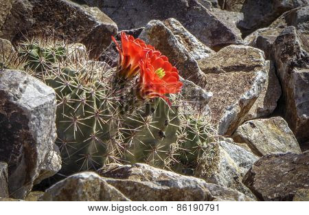 Desert Cactus Bloom
