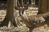 Whitetail deer shedding her winter coat in early spring. Telephoto lens photograph, only the deer is sharp. poster