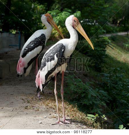 Painted Stork Bird Or Mycteria Leucocephala
