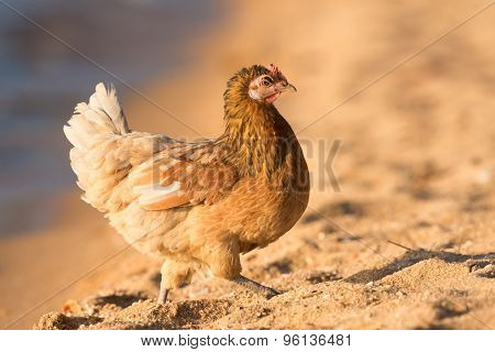 Chicken Walking Along The Beach