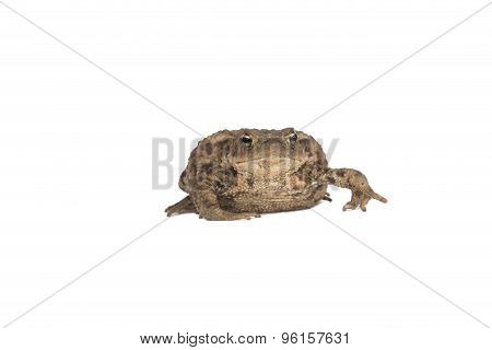 Hoptoad Isolated on white studio background