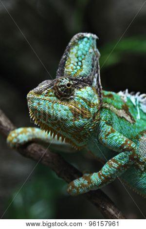 Veiled chameleon (Chamaeleo calyptratus), also known as the Yemen chameleon. Wildlife animal.