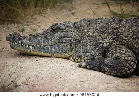 Nile crocodile (Crocodylus niloticus). Wild life animal.