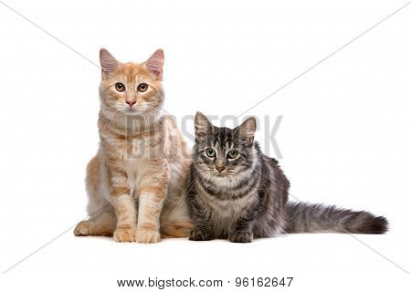 Maine Coone And Norwegian Forest Cat