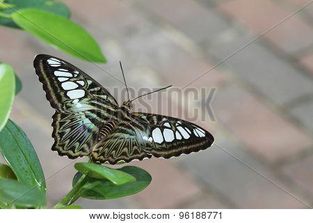 Green Clipper Butterfly