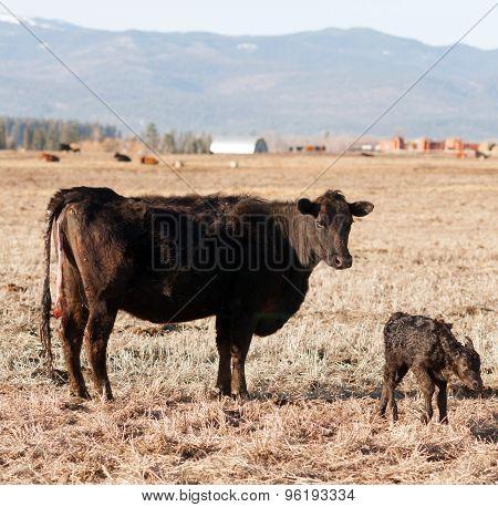 Newborn Calf Montana Ranch Unaided Birth Cattle Ranch