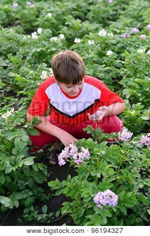 Boy Teenager Growing Potatoes In  Garden