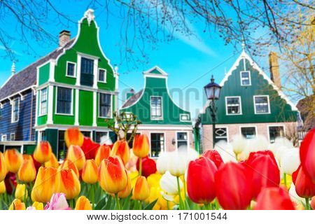 Holland tulips field and old dutch green traditional houses in Zaanse Schans in Netherlands, Amsterdam