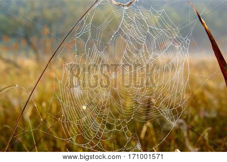 Spider web on grass in the field. Dewdrops.
