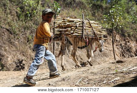 PIURA PERU - JUNE 28: View of a boy who takes care of a donkey loaded with bundle of sugarcane near the city of Piura region called Jijili. In the north of Peru 2011.