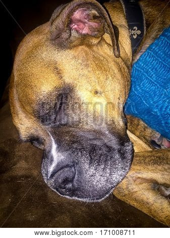 boxer dog in a sweater takes a nap
