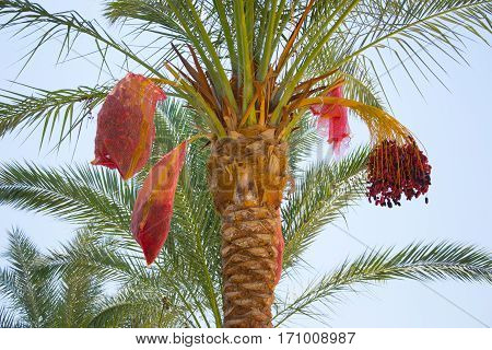 Date palm harvest dates tropical palm fruits
