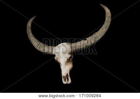 bull skull with horns on a black background
