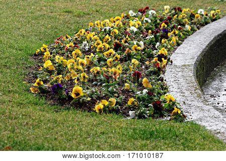 detail of viola flower in a garden