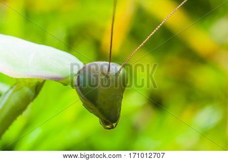 Macro mantis close up on the green grass