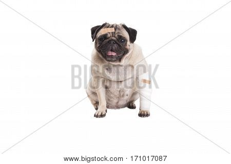 sick sitting cute pug puppy dog with plaster and bandage isolated on white background