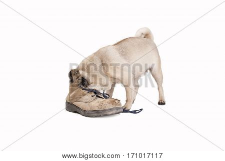 nosy pug puppy dog sticking head in an old smelly worker boot isolated on white background